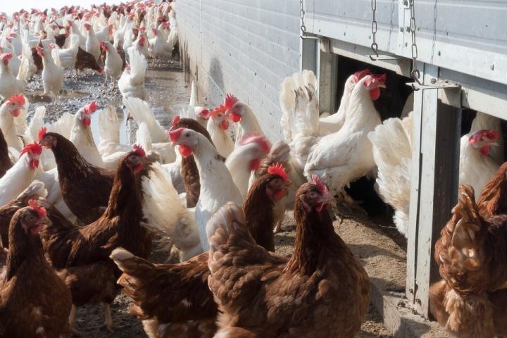 Почти 400 тыс яиц на каждого астраханца: сельское хозяйство, как сказочная репка