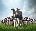Как не допустить проблем с задержанием последа у коров
