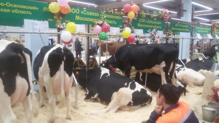 Животноводы Подмосковья привезли экзотических коз и редких коров на «Золотую осень»