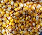 Belarus Harvests more than 1.2 Million Tons of Corn