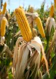 Russia Adjusts Corn Prices on the Domestic Market of India