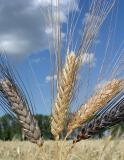 The Chinese company intends to import annually 200-300 thousand tons of Kazakhstan wheat
