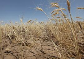 Челябинский Минсельхоз заявил о режиме ЧС из-за засухи