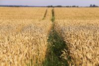 Лидеры производства зерновых и рапса в Калининградской области