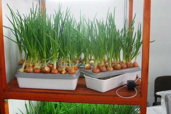 Выращивания зеленого лука в квартире 33