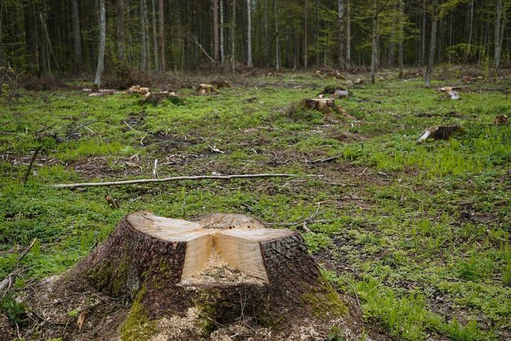 Лес рубят - лесники молчат