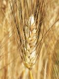 USDA Raises December Forecasts for Russian Wheat in the 2019/20 Season
